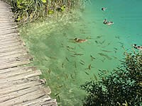 Plitvice ducks