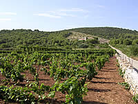 Vis: vineyard